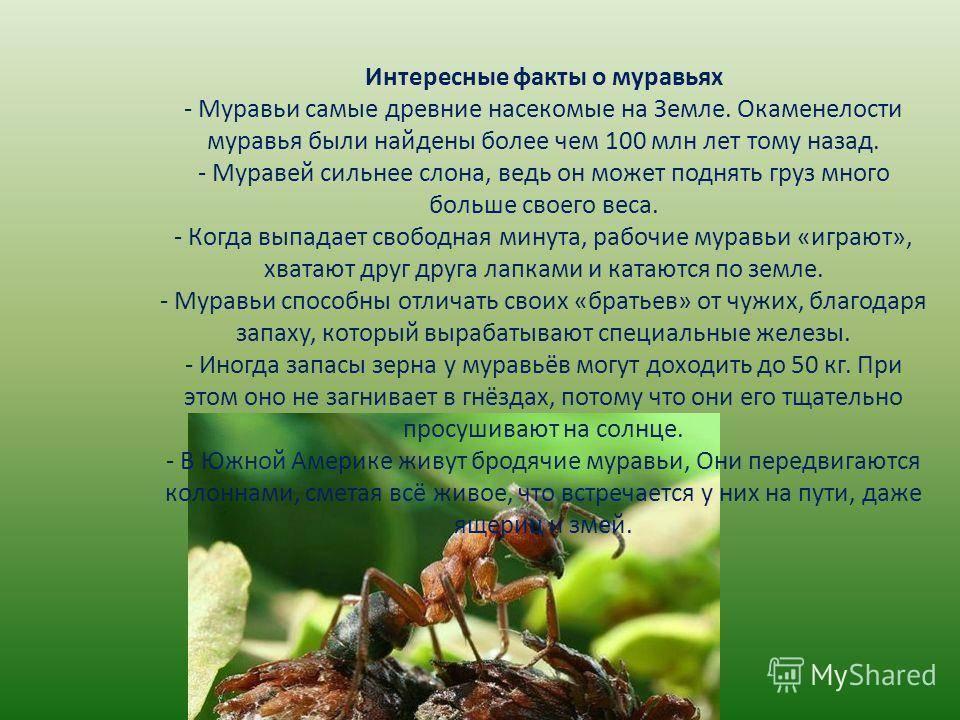 Сколько весит муравей и какой вес может поднять насекомое