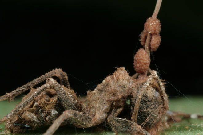 Кордицепс однобокий – гриб, зомбирующий муравьев