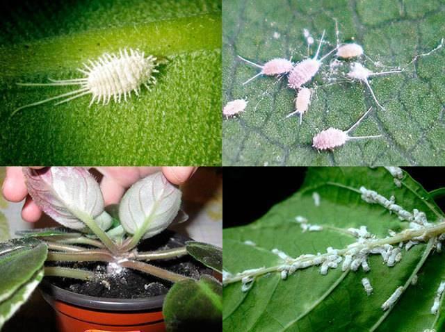 Вредители комнатных растений – фото и как с ними бороться
