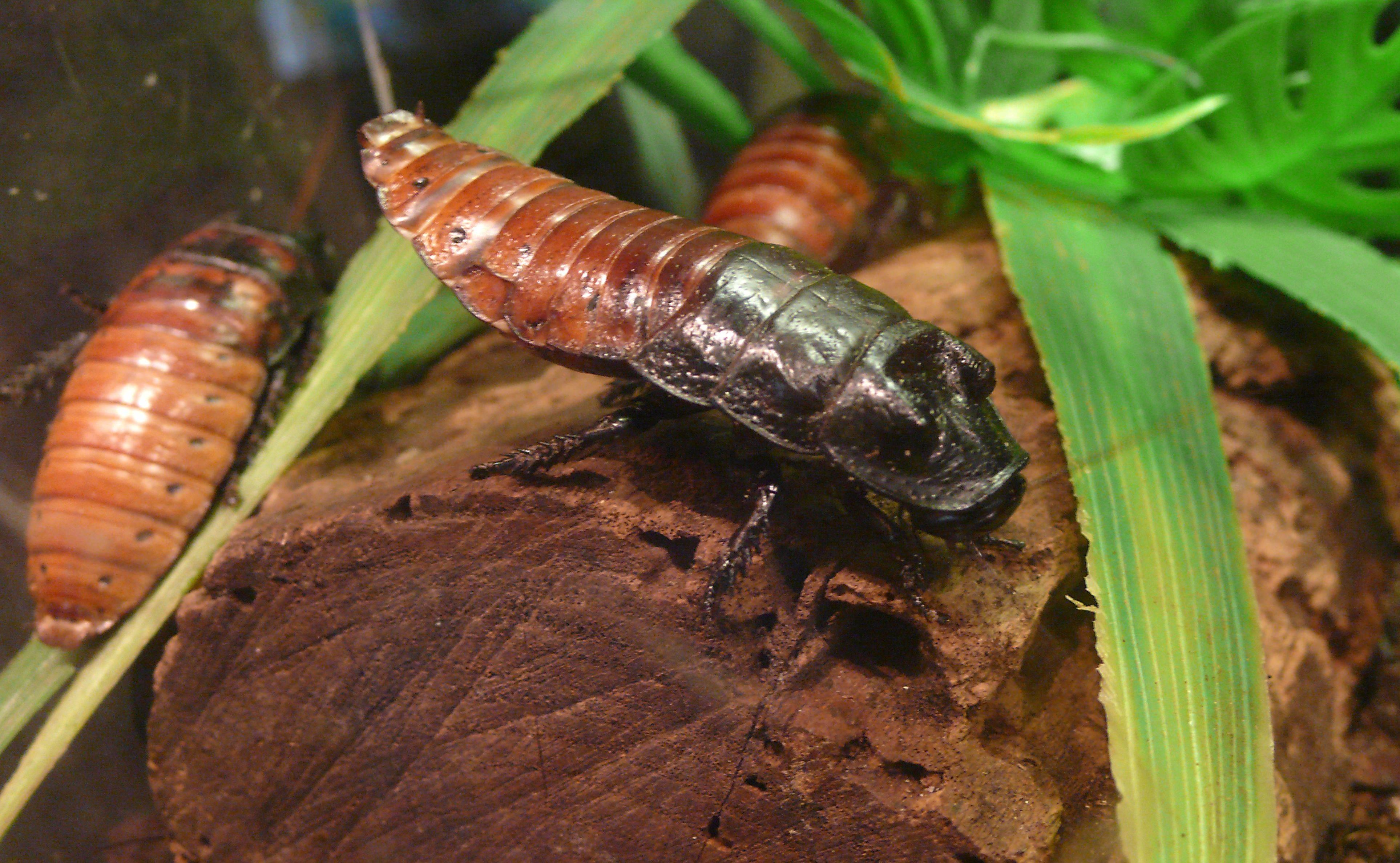 Как содержать тараканов мадагаскарских