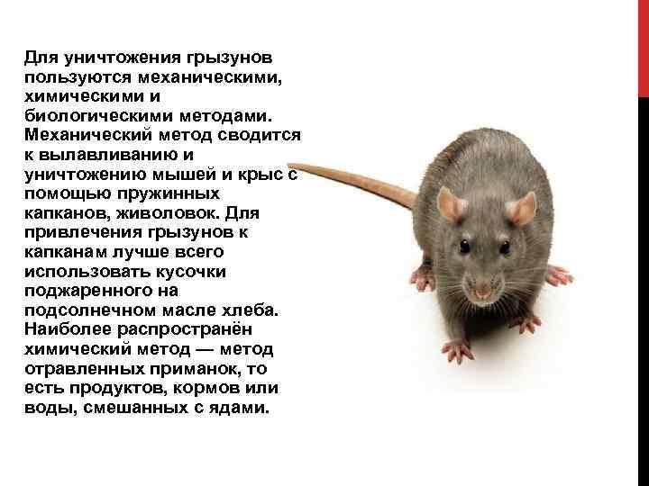 Все что нужно знать о зрении крыс