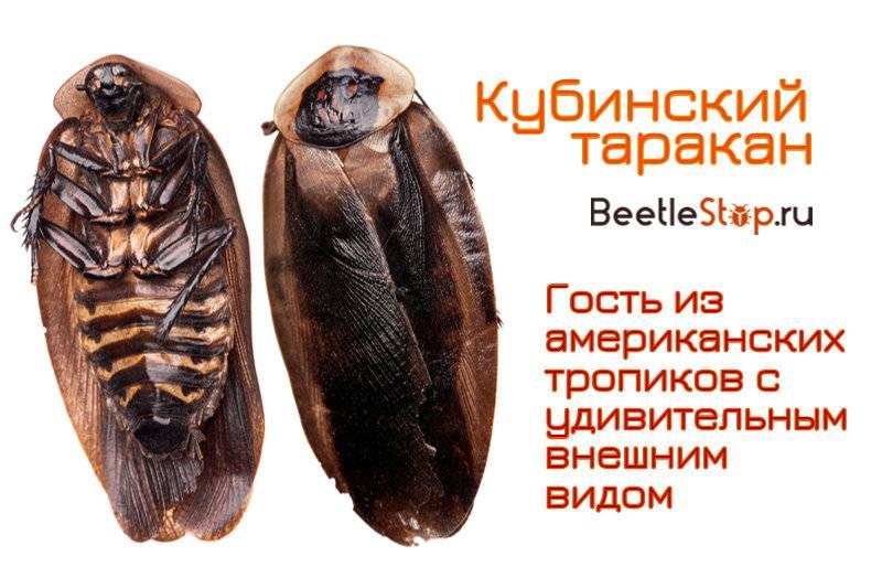 Виды тараканов (разновидности) и экзотические домашние тараканы, фото, видео