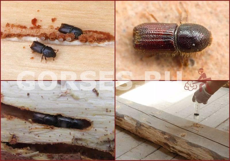 Жук точильщик - как избавиться в деревянном доме