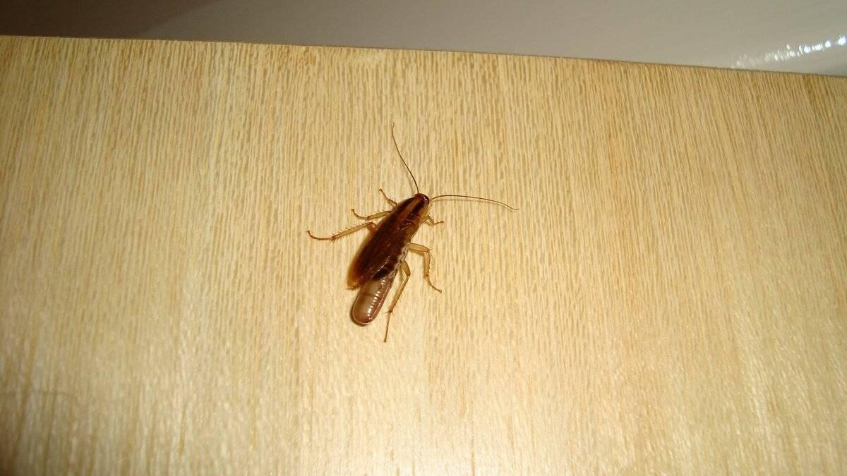 Маленькие тараканы: названия, фото и описания