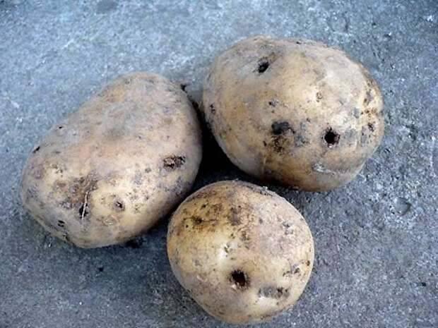 Меры борьбы с проволочником на картофельном поле осенью