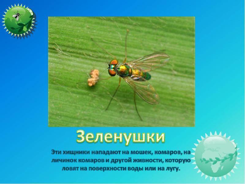 Мясная муха: описание, личинки, срок жизни. мясная муха: как бороться и выращивать