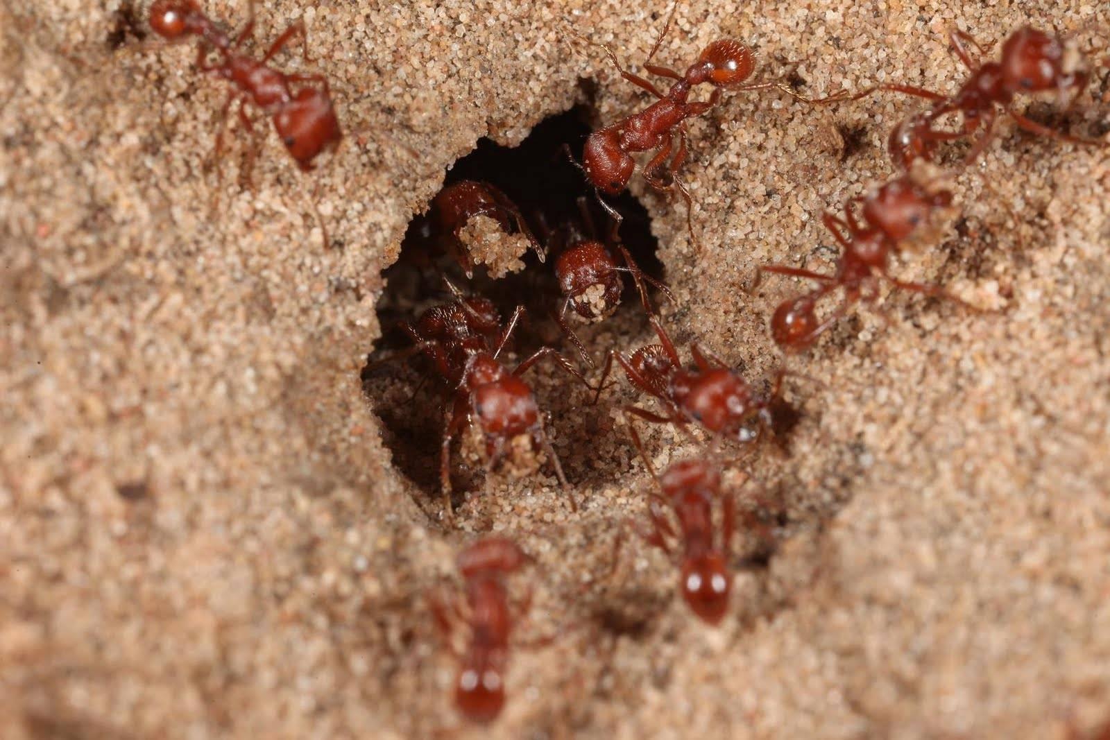Муравей — маленький силач. описание, виды, образ жизни и среда обитания коллективного насекомого