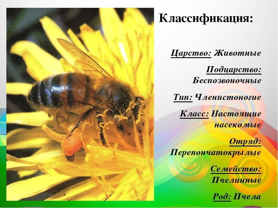 Строение пчелы: сколько ног, чем дышит, длина тела, сколько лап, внутреннее строение, форма тела, анатомия пчелы