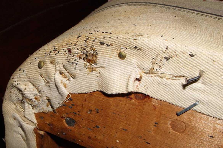 Бельевые клопы – фото, описание, как избавиться в домашних условиях