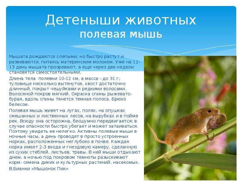 Описание мышей-полевок и способов избавления от них 2021
