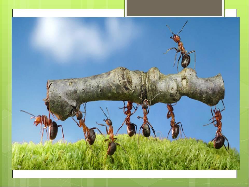 Оод по природному миру «муравьи— санитары леса» в старшей группе