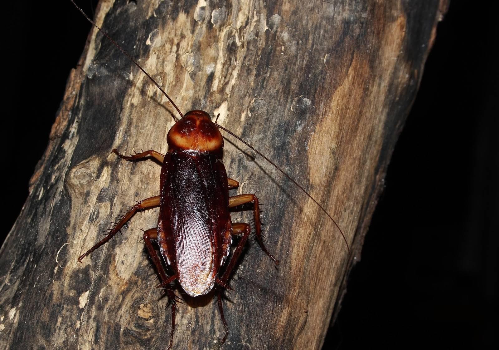 Американский таракан: в квартире, описание, как избавится, чем питаются, фото, видео