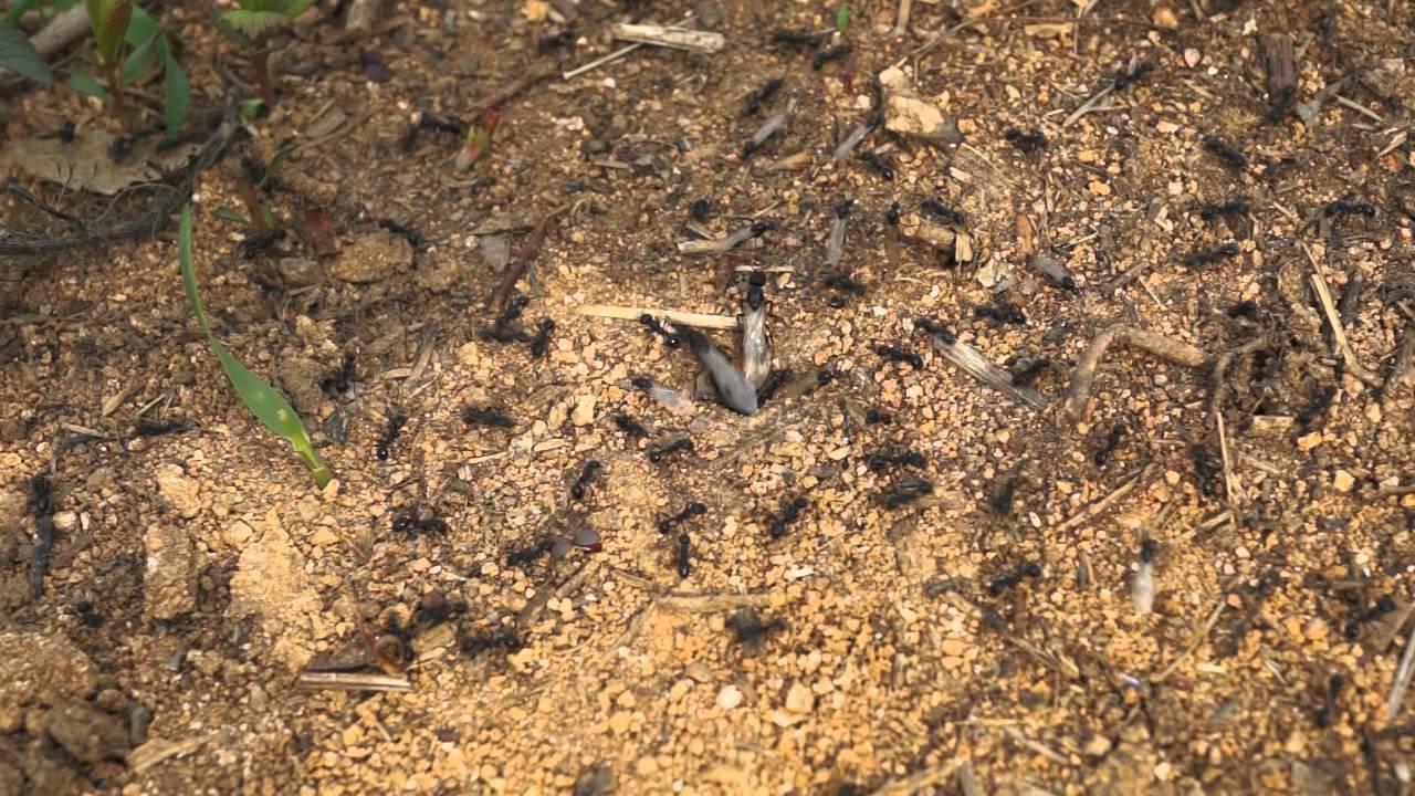 Пшено от муравьев на дачном участке - оригинальный способ борьбы с насекомыми