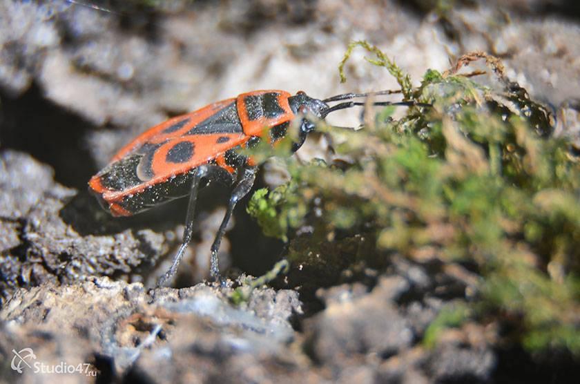 Жизнь и питание красного бескрылого жука солдатика: разбираем тщательно