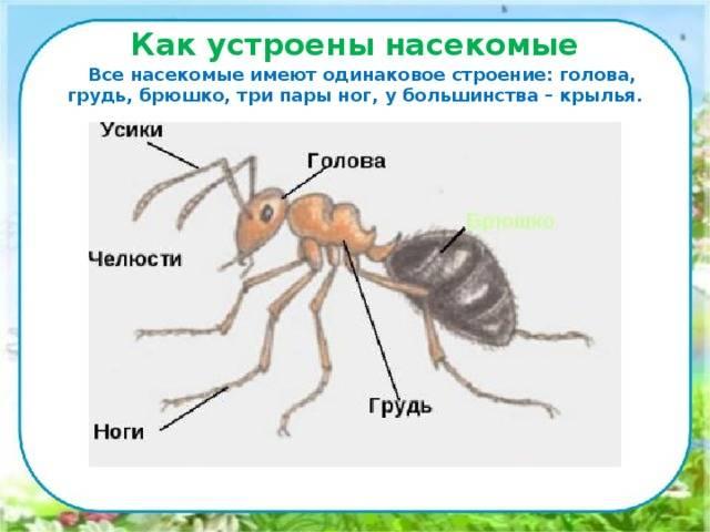 Сколько ножек у муравья — строение лапок у насекомого, основные и вспомогательные функции лап