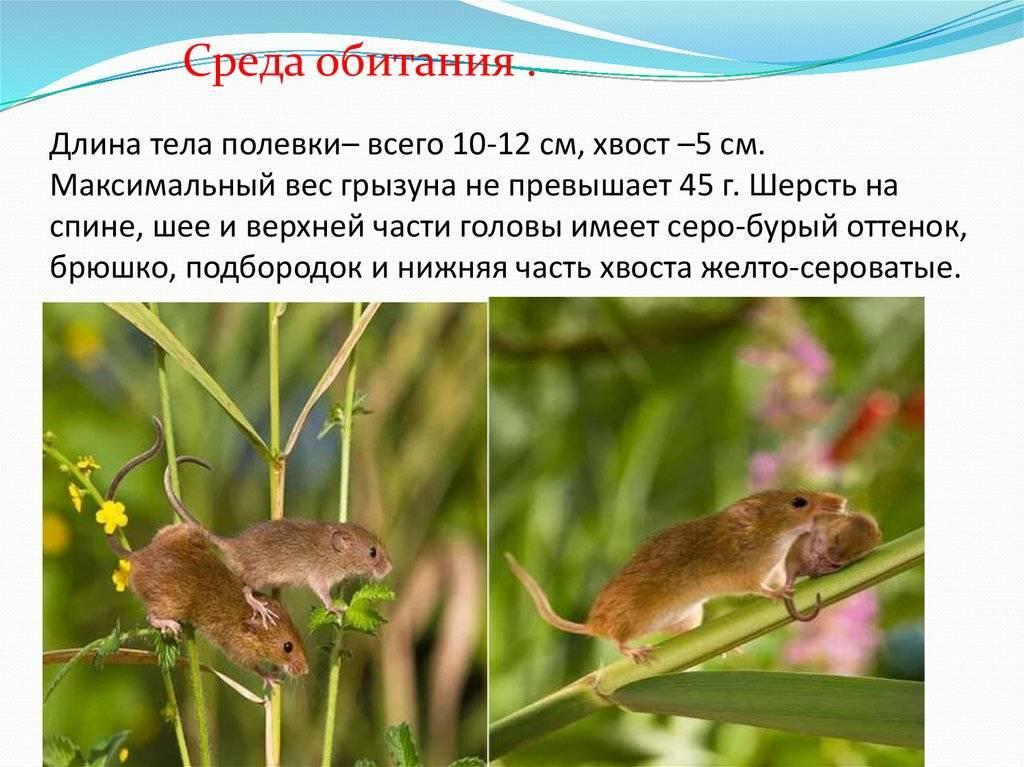 Полевая мышь фото и описание