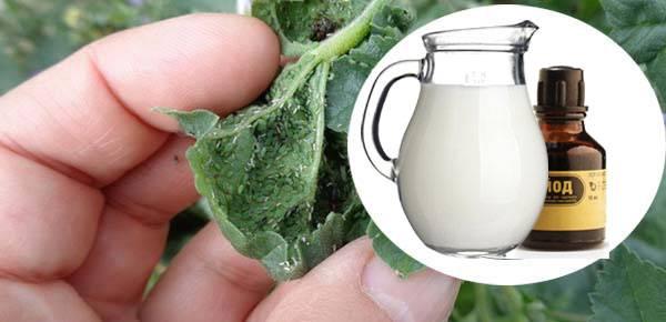 Сода от тли: пищевая и кальцинированная сода от тли на деревьях, опрыскивание с йодом. как избавиться от тли с помощью содового раствора?