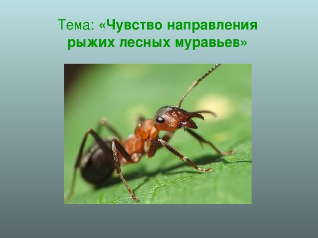Значение муравьев в природе: польза, вред и лечение русский фермер