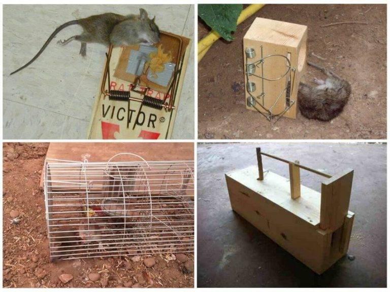 Крысоловки своими руками: обзор лучших конструкций