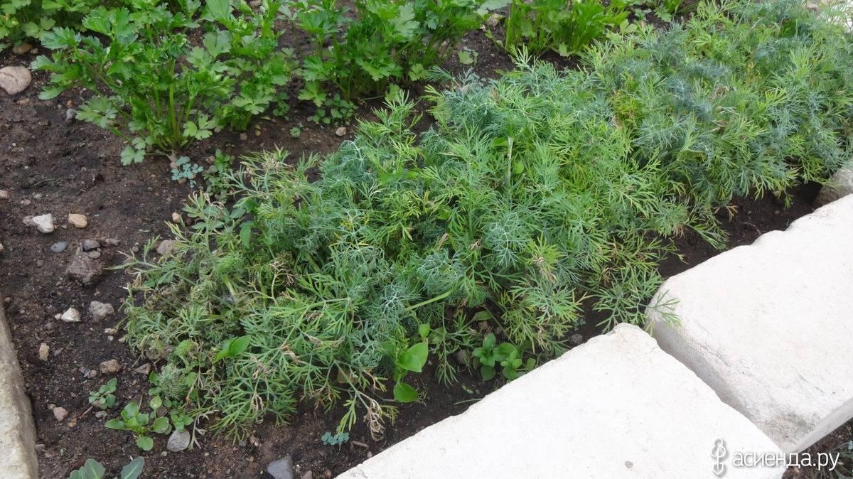 Почему на укропе может появиться тля и чем она опасна? какими средствами обработать растение?