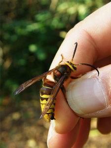 Укус осы и его последствия: как лечить и обезболить?