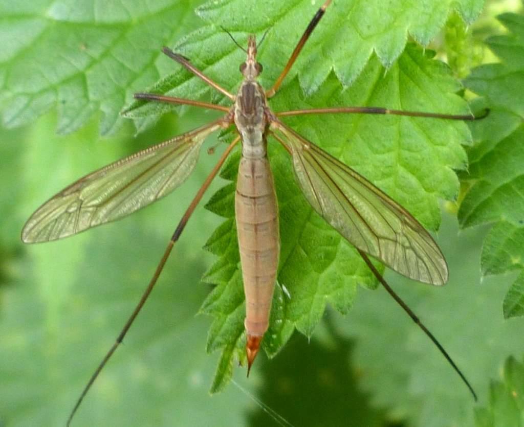 Комар долгоножка: чем опасен, как называется, фото