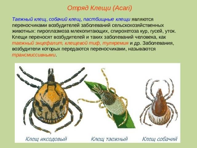 Таёжный или лесной клещ: фото и описание. чем опасен укус таежного клеща?