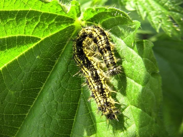Бабочка крапивница — описание, среда обитания, виды