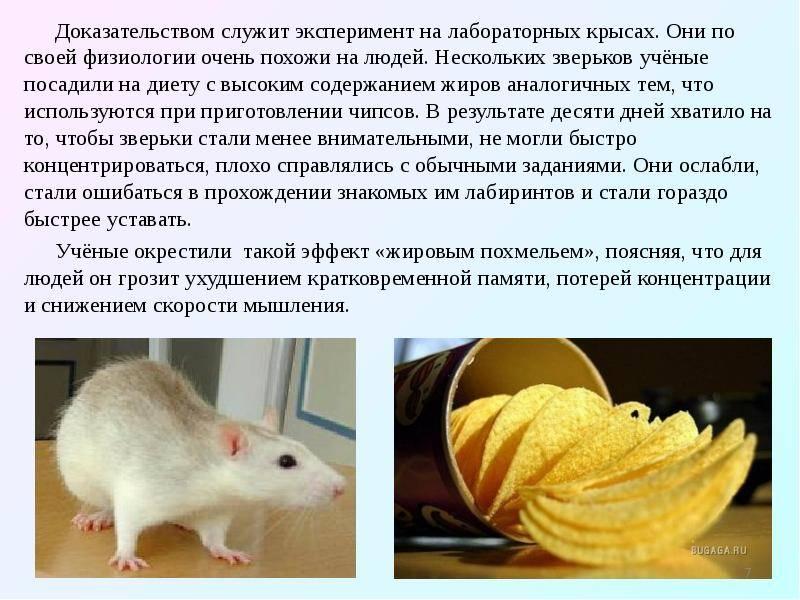 Чем можно и нельзя кормить домашнюю крысу