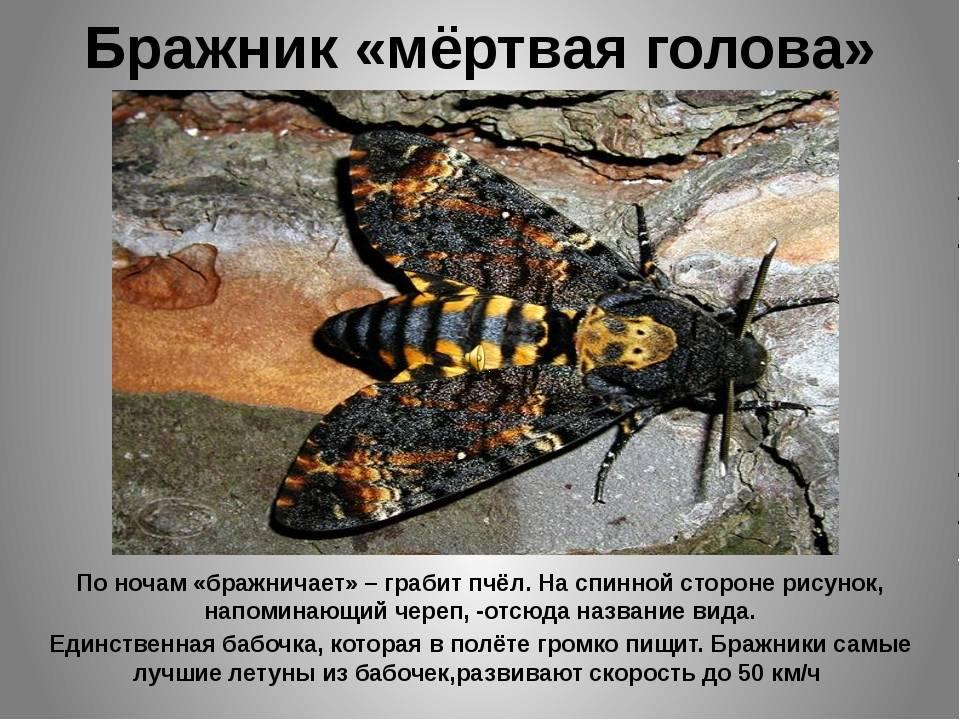 Бабочка мертвая голова: местообитания
