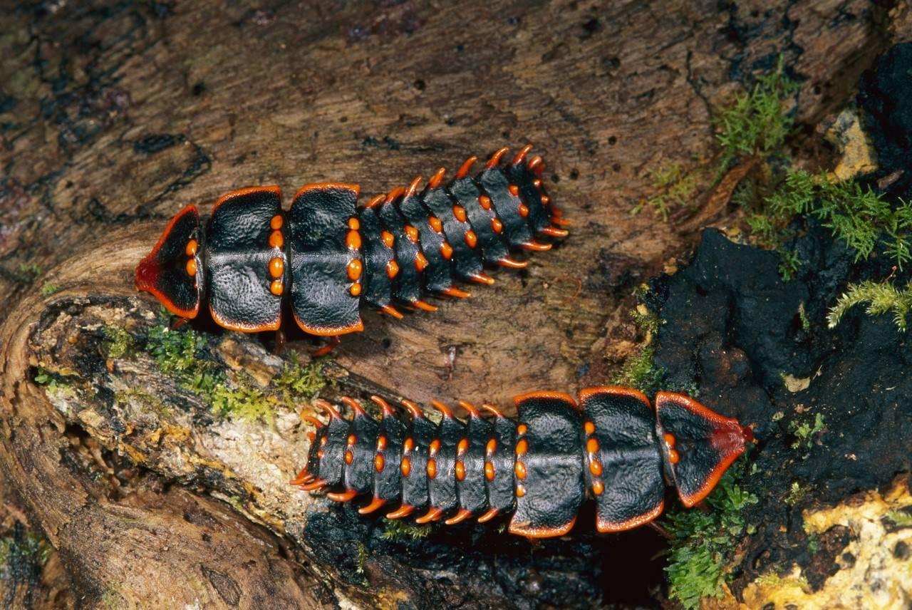 Жук-трилобит – создание с внешностью доисторических существ