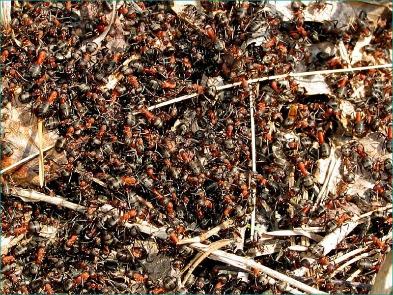 Натуральное оружие против муравьев: выгони насекомых из дома, пока они не выгнали тебя. теперь использую против клещей!
