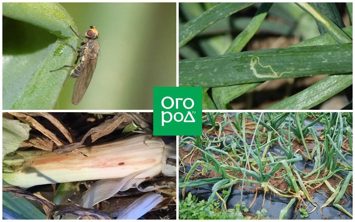 Луковая муха: простые методы борьбы с луковой мухой