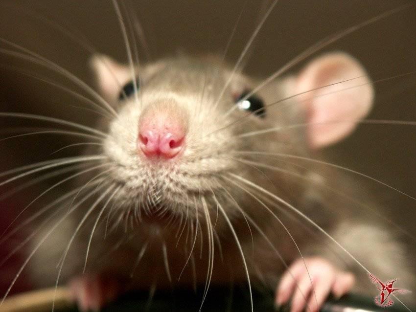Белая крыса с красными глазами: описание с фото, особенности содержания, характеристика поведения и уход