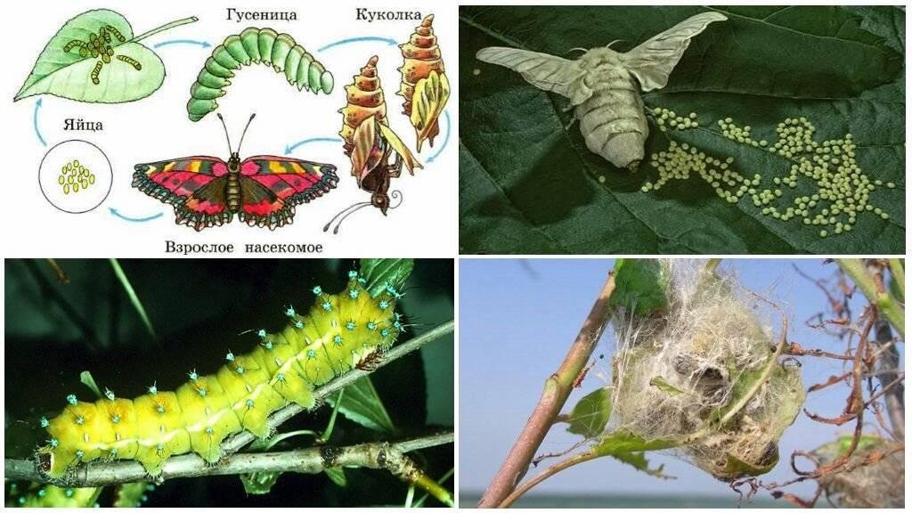 Превращение гусеницы в бабочку: стадия превращения || сколько времени куколка превращается в бабочку