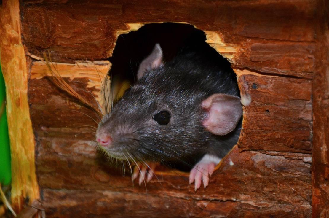 Как эффективно избавиться от мышей на даче, раз и навсегда