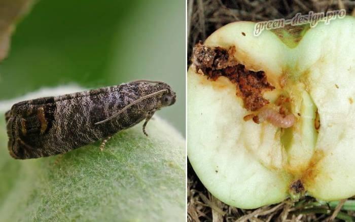 Защита яблонь от плодожорки