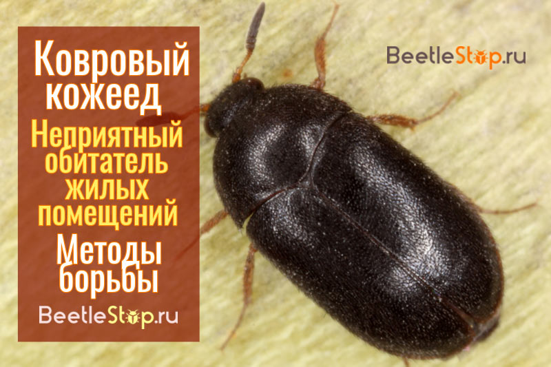 Как избавиться от жука-кожееда в квартире