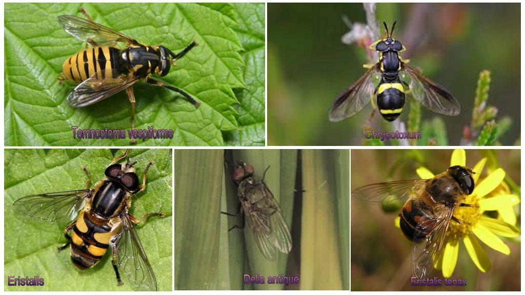 Виды мух, сколько они живут, как выглядят, чем питаются, где обитают и как с ними бороться: обобщенный взгляд