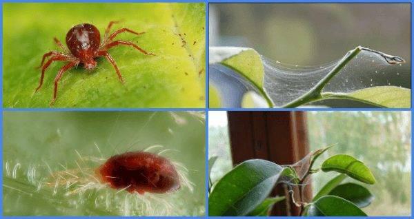 Как избавиться от паутинного клеща на комнатных растениях: 16 препаратов и народных средств
