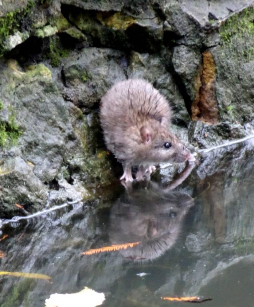 Водяная крыса: описание, места обитания, методы борьбы