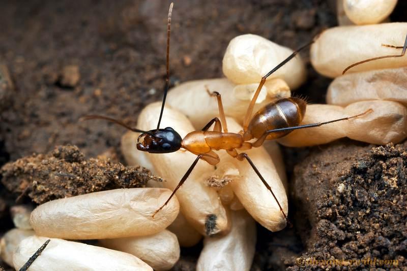 Лесные и садовые муравьи: жнец, древоточенец, рыжий и черный русский фермер