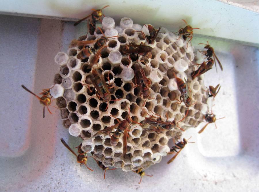 Как избавиться от осиного гнезда на даче - химические методы, ловушки