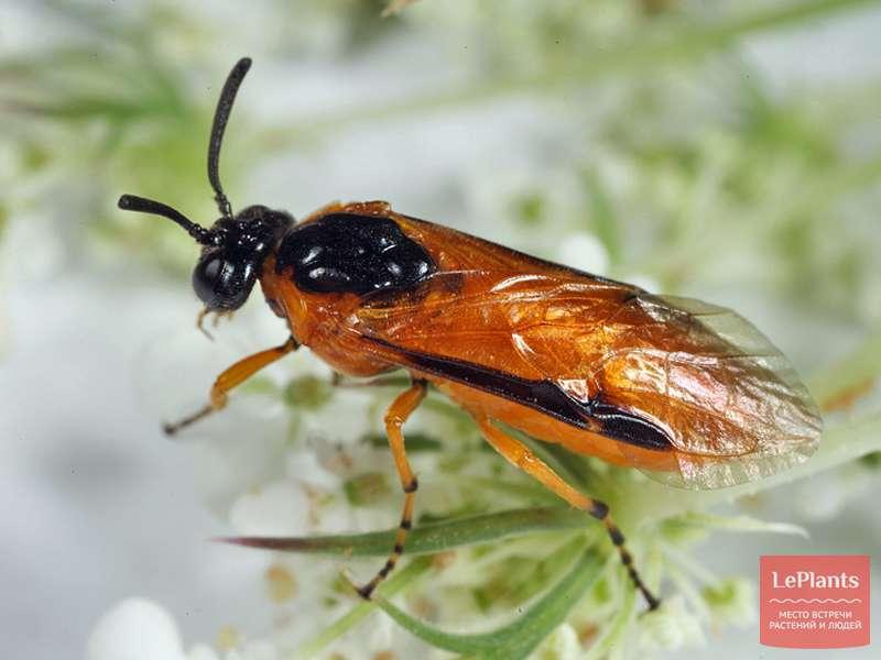 Жук пилильщик – фото и описание насекомого, как бороться с ним