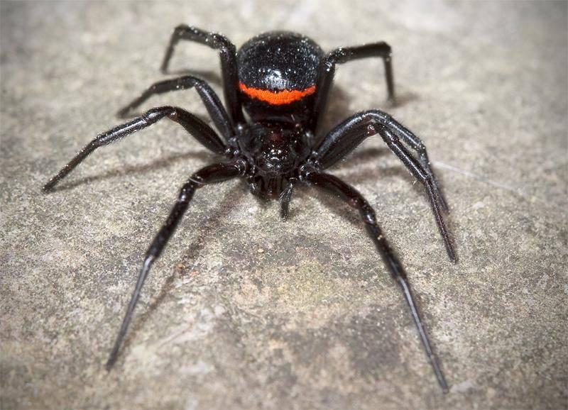 Паук каракурт – опасный паук из рода черных вдов. описание и фото паука каракурта