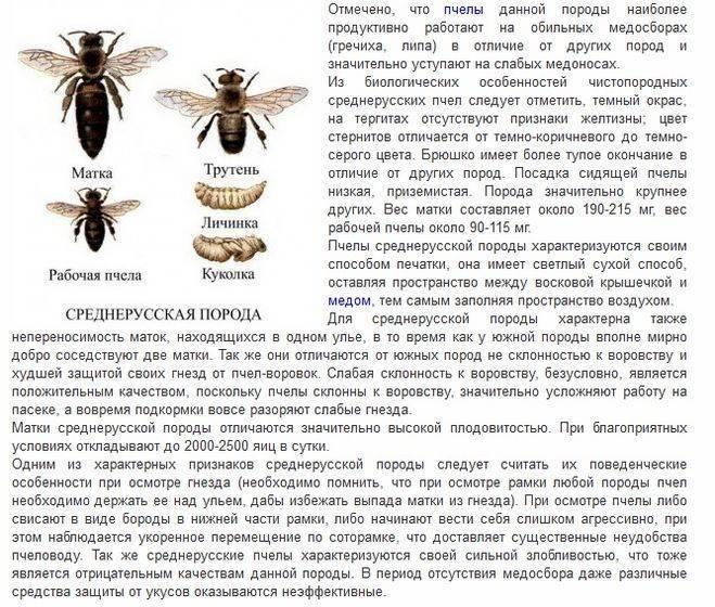 Среднерусская пчела: характеристика и описание породы