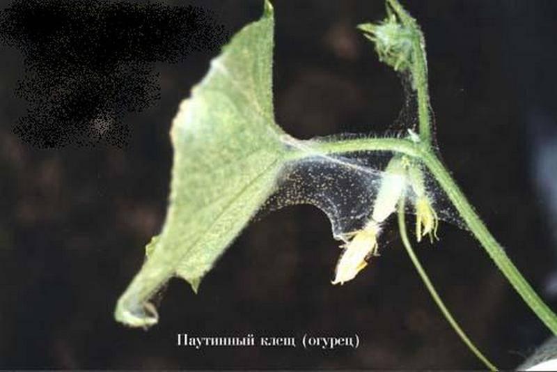 Почему появляется паутина на огурцах, как с ней бороться?
