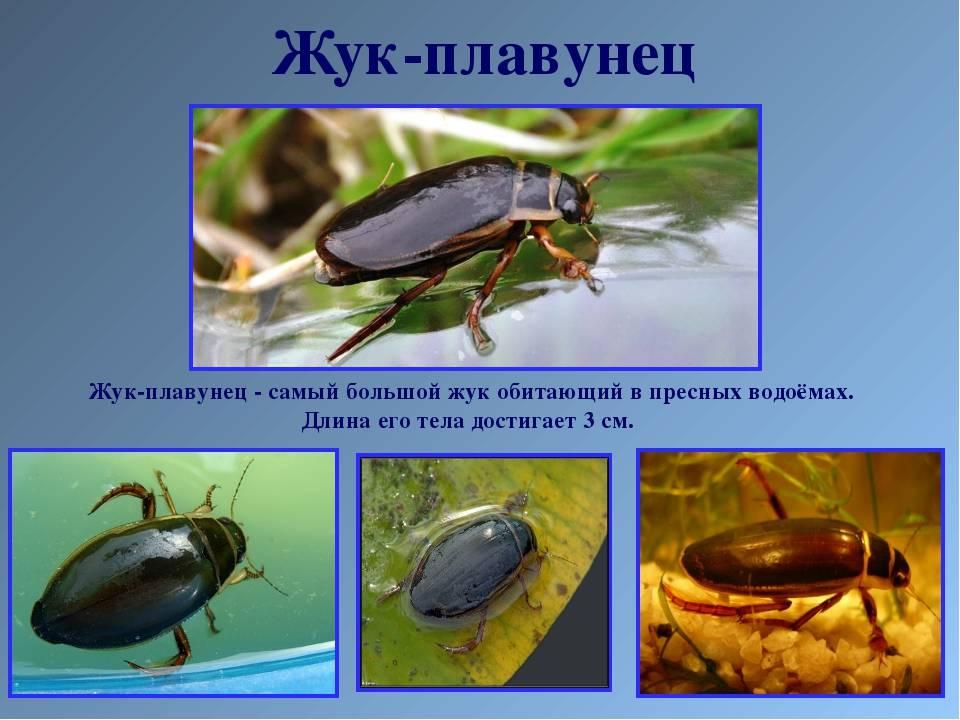 ✅ чем кормить жука плавунца в домашних условиях - питомник46.рф