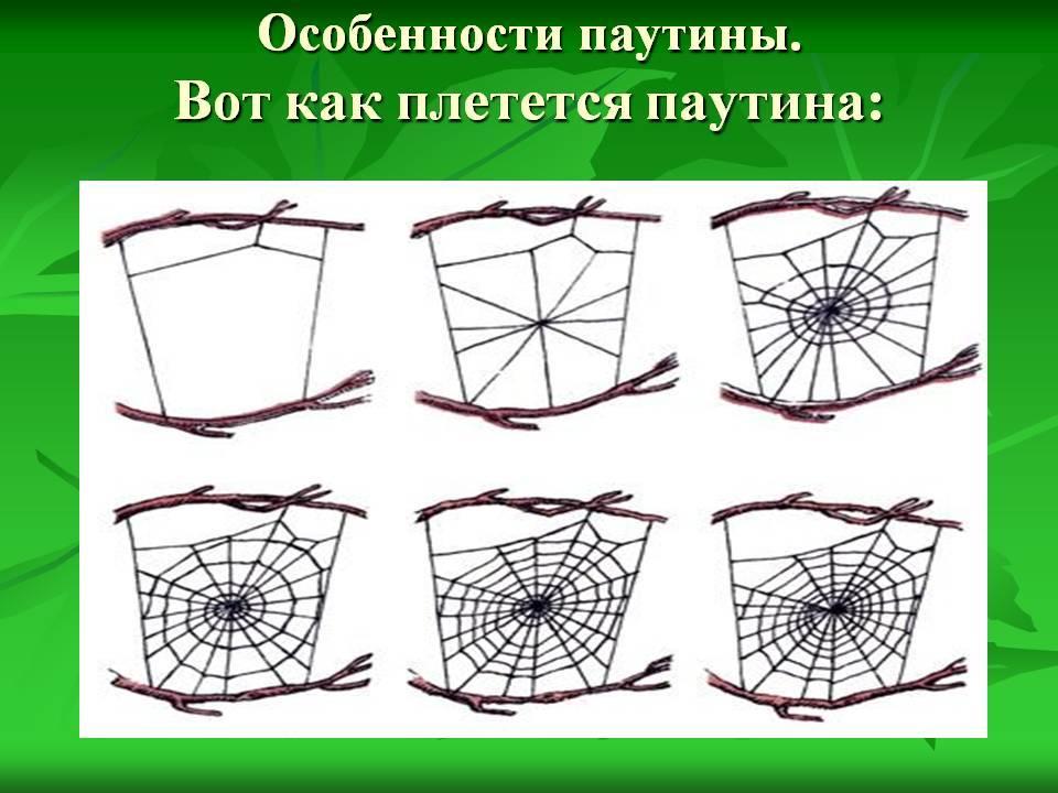 Паутина паука: как плетёт, откуда она берётся, фото, видео