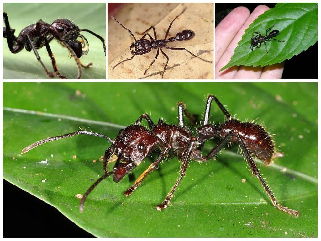 Муравьи убийцы: самые опасные муравьи